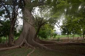 Mapou, Sacred tree at Souvenance, Memory of Bwa Kayiman Symbolism
