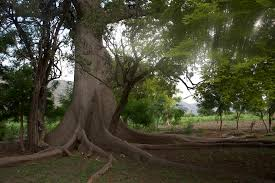 Mapou, the Sacred tree at Souvenance is a reference to Bwa Kayiman Principles memory